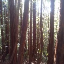 Muir Woods 11