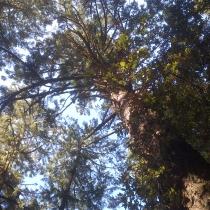 Muir Woods 05