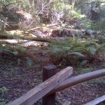 Muir Woods 31