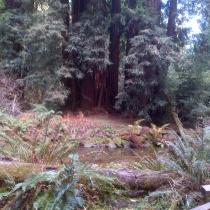 Muir Woods 35