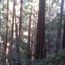 Muir Woods 41